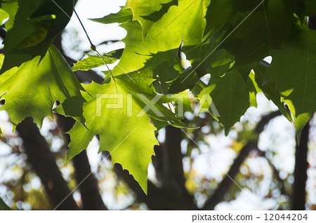 树叶 法国梧桐 叶子
