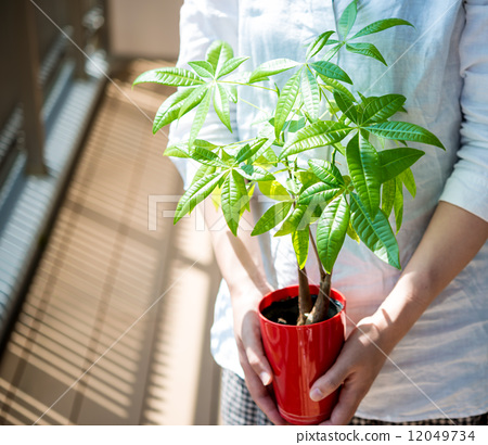 图库照片: 中美木棉属 室内盆栽 观叶植物