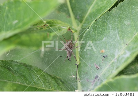节肢动物 蜘蛛 漏洞