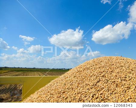 丰收 稻谷 收获