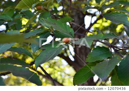 枹栎 落叶树 坚果