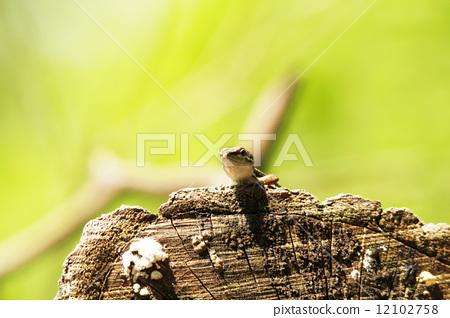 照片素材(图片): 蜥蜴 蝎虎天体 树顶