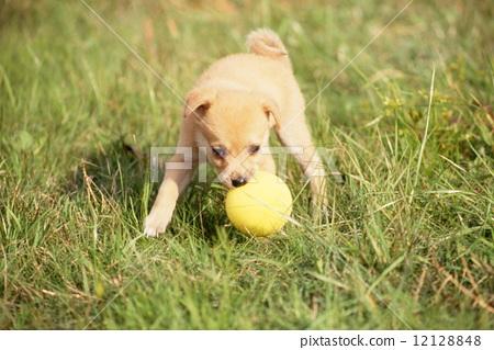 狗 小狗 球图片