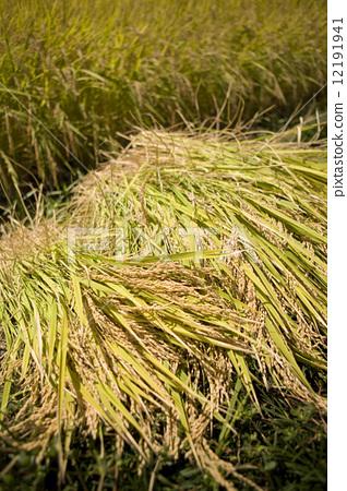 图库照片: 稻穗 丰收 农作物