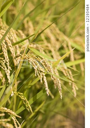 稻穗 悬挂 向上
