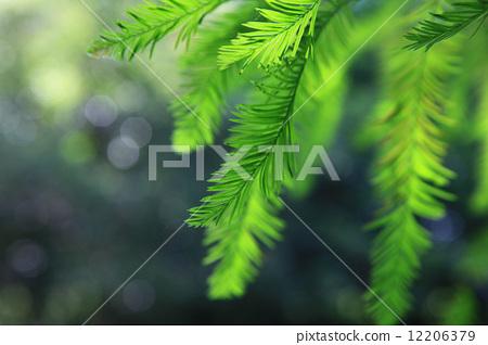 树叶 水杉 叶子