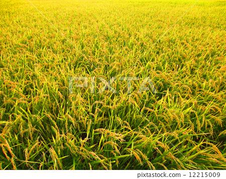 图库照片: 稻田 丰收 稻穗