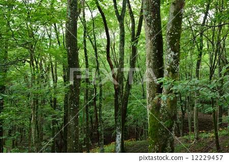 光叶榉 大树 落叶阔叶树