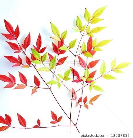 叶の背景素材黄绿と赤の南天の枝叶2枝白バック正方形 12287852