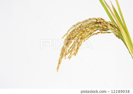 稻穗围边卡通图片