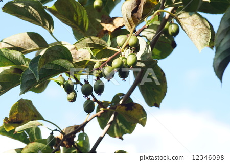 耐寒猕猴桃树 起重机 鹤