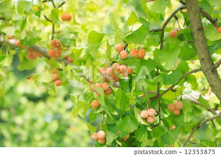 照片素材(图片): 银杏 银杏树 风景