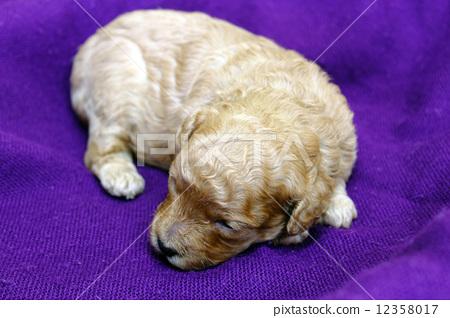 小狗 贵宾犬 玩具狗