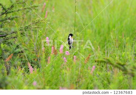 非洲野鹟 小鸟 野生鸟类