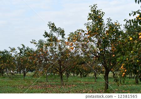 照片素材(图片): 果园 柿子树 水果