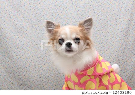 动物 室内狗 吉娃娃