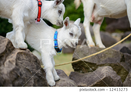 小山羊 stock photos