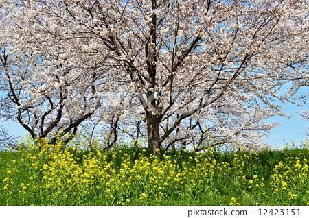樱花 樱桃树 琦玉县