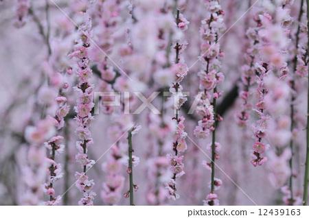 花朵 树枝低垂的李树 开花