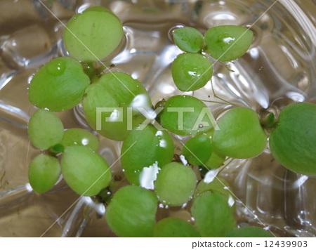 图库照片: 多年生植物 浮叶植物 不稳定的