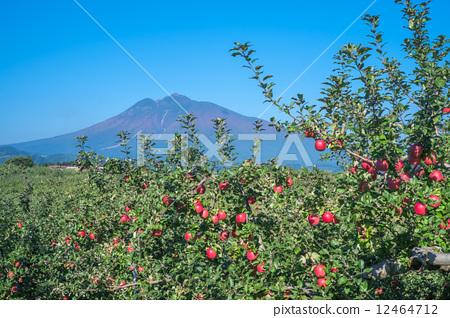 苹果 日本樱桃 苹果园