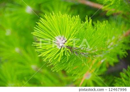 松树 松针 植物