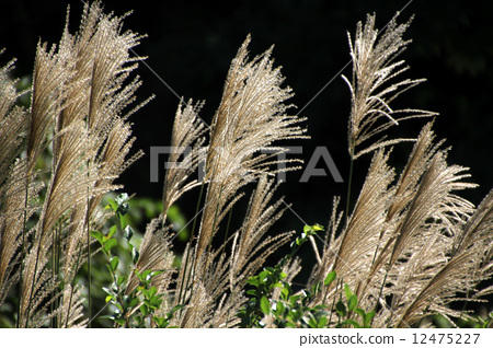 首页 照片 植物_花 观叶植物 芒花 芒草 日本蒲苇  *pixta限定素材仅