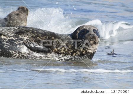 动物_鸟儿 海洋动物 海豹 照片 海狗 海豹 拼接图案 首页 照片 动物