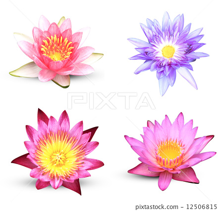 图库照片: lotus flower