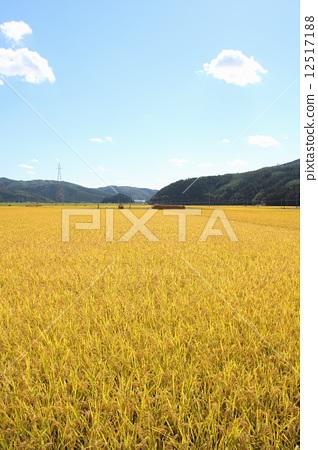 风景_自然 田地_稻田 稻田 照片 稻田 水稻丰收 丰收 首页 照片 风景