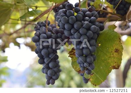 葡萄 秋天 果园