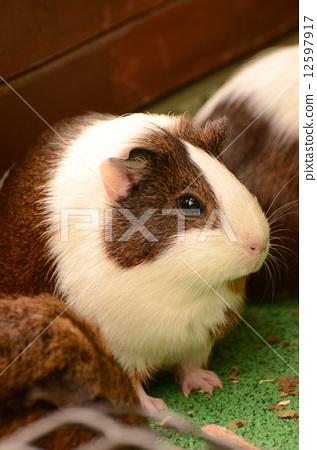 荷兰猪 动物 陆生动物