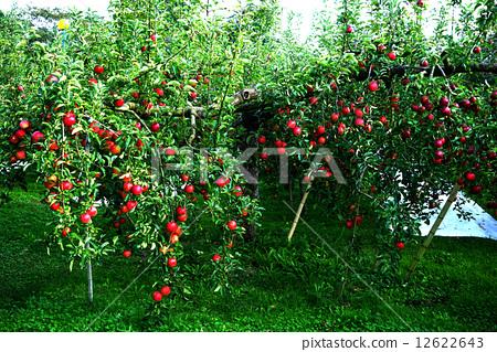 照片素材(图片): 苹果树 茨城县 苹果