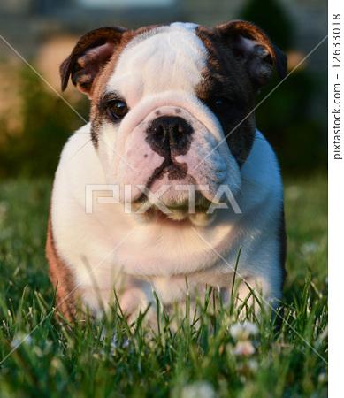 cute puppy 12633018