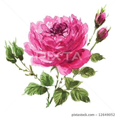 图库插图: 水彩画 玫瑰 玫瑰花