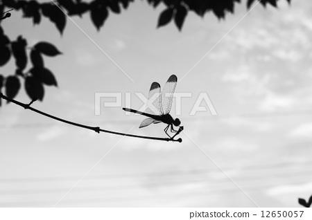 图库照片: 蜻蜓 黑白 单色