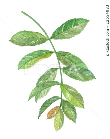 水彩 水彩画 药用植物
