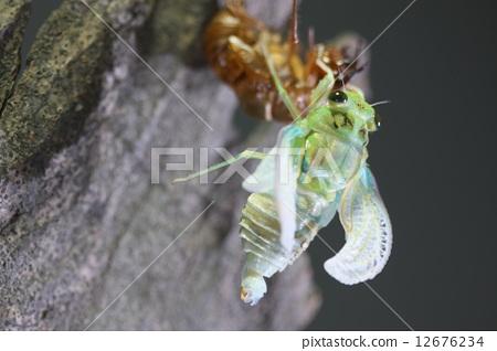 照片素材(图片): 昆虫出现 棕色大蝉 蝉