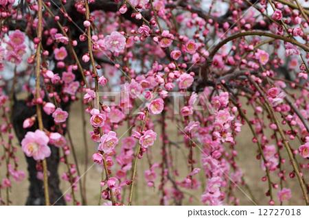 树枝低垂的李树 开花 花