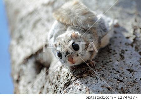 小飞鼠 日本鼯鼠 野生生物