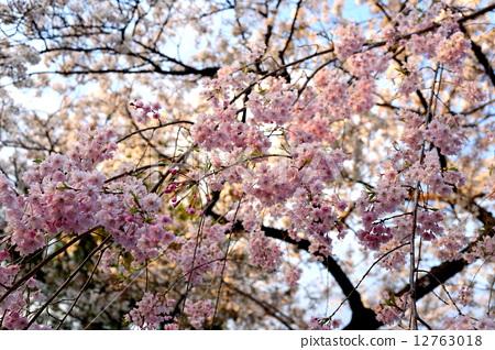 樱花树枝 stock photos