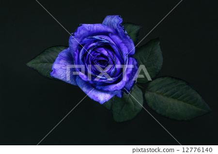 图库照片: 玫瑰 玫瑰花 蓝玫瑰