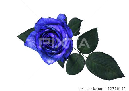 图库照片: 蓝玫瑰 玫瑰花 雅致