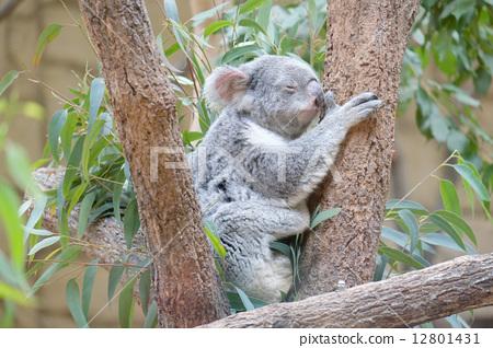 照片素材(图片): 考拉 动物 树叶