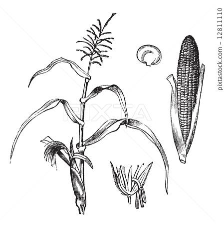 玉米手绘简笔画