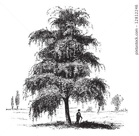 桦木stock 插图 - pixta