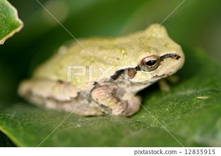 爬行动物/昆虫/恐龙 青蛙 照片 树蛙 青蛙 两栖的 首页 照片 爬行动物