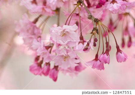 树枝低垂的樱花树 盛开