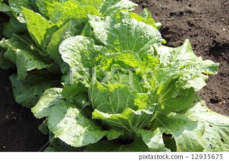 蔬菜_食品 叶_叶菜类 大白菜 大白菜 菜园 有机蔬菜  *pixta限定素材