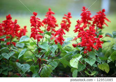 照片素材(图片): 一串红 花朵 花